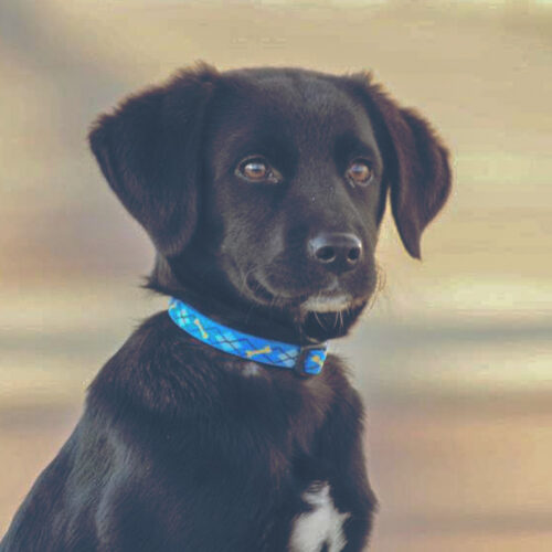 Karl - Trained Black Lab Puppy for Sale - Peace of Mind Puppy