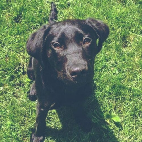 Lenny the Lover - Trained Lab for Sale - Peace of Mind Puppy