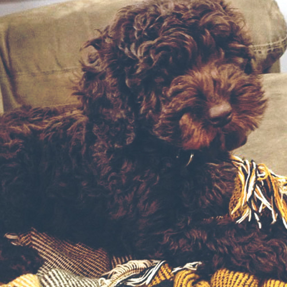 Truman - Trained Labradoodle for Sale