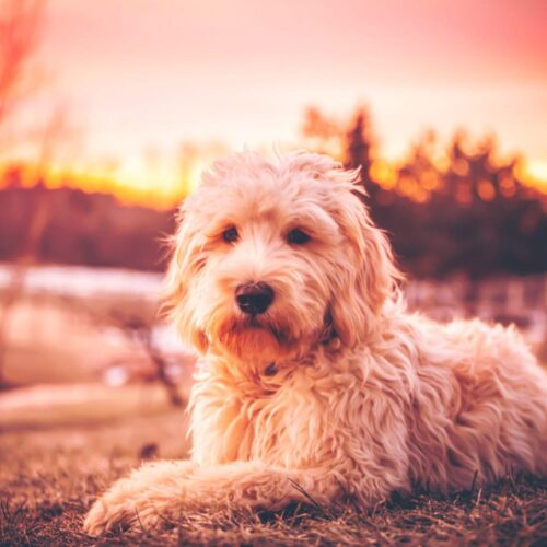 Milo - Trained Goldendoodle for Sale from Peace of Mind Puppy
